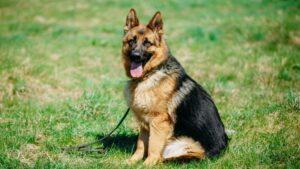 Alman Kurdu Köpek Irkının Özellikleri